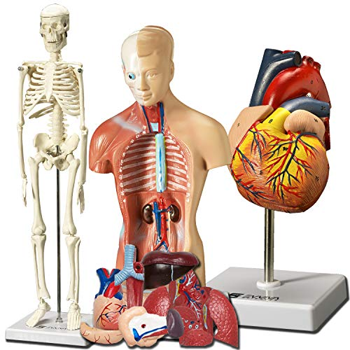 Evviva Sciences Human Heart, Torso And Skeleton Models Best Set Of 3 Hands On 3d Model Study Tools For Anatomy And Physiology Students With Anatomical Guide By Physicians Learning Kit For Kids